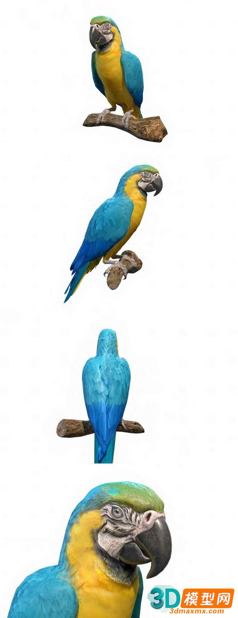 Blue and Gold Macaw Parrot插图